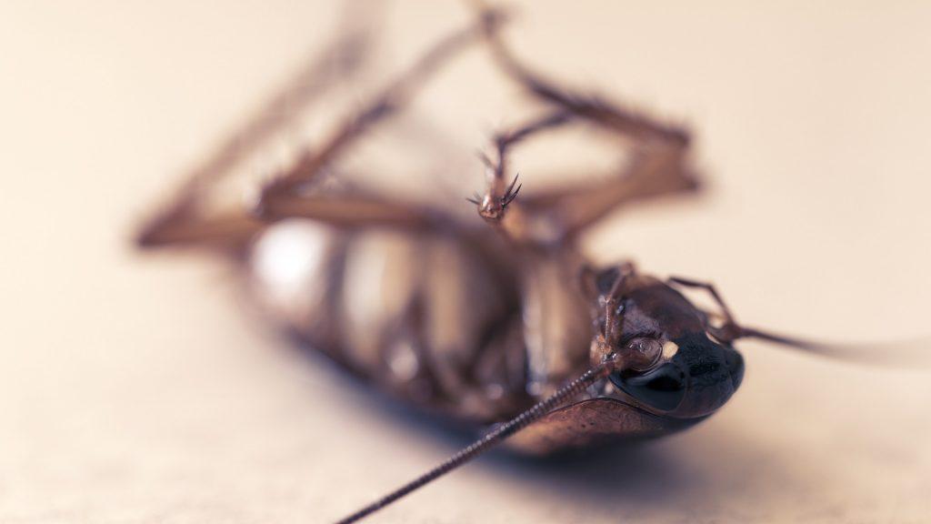 Se ve una cucaracha americana muerta