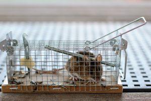 Se ve a un ratón capturado en una jaula